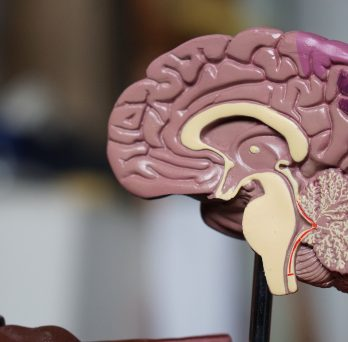 A cross-section model of a human brain